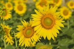 Mooie zonnebloem in de tuin Royalty-vrije Stock Afbeelding