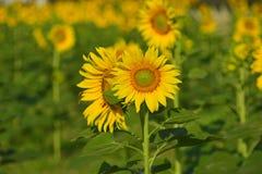 Mooie zonnebloem in de tuin Stock Foto