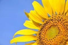 Mooie zonnebloem in de tuin Stock Afbeeldingen