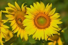 Mooie zonnebloem in de tuin Stock Fotografie