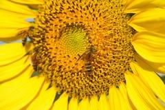 Mooie zonnebloem en bij in de tuin Royalty-vrije Stock Foto