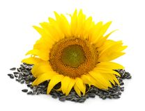 Mooie zonnebloem en zaden royalty-vrije stock afbeelding