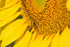Mooie zonnebloem met beein de tuin Royalty-vrije Stock Foto's