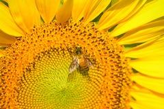 Mooie zonnebloem met bij in de tuin Stock Foto