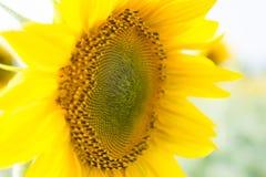 Mooie Zonnebloem Nuttige eigenschappen van zonnebloemolie Stock Afbeelding