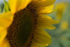 Mooie Zonnebloem Nuttige eigenschappen van zonnebloemolie Royalty-vrije Stock Foto