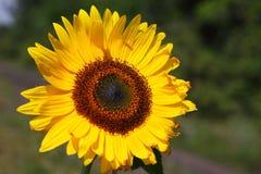 Mooie zonnebloem op aardachtergrond Stock Foto's