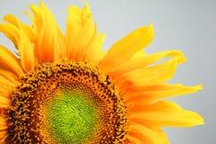 Mooie zonnebloem op grijze achtergrond stock illustratie