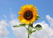 Mooie zonnebloem op hemelachtergrond Stock Afbeeldingen