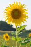 Mooie zonnebloem op het gebied, Polen royalty-vrije stock afbeelding