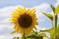 Mooie zonnebloem tegen een blauwe hemel Stock Afbeeldingen