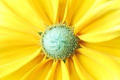 Mooie zonnebloemachtergrond Stock Foto