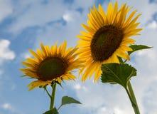 Mooie zonnebloembloemen in de zomer op het gebied Royalty-vrije Stock Afbeelding