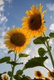 Mooie zonnebloembloemen in de zomer op het gebied Royalty-vrije Stock Foto's