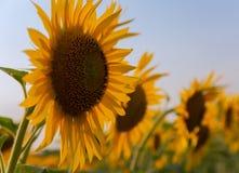 Mooie zonnebloembloemen in de zomer op het gebied Stock Afbeelding