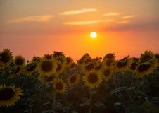 Mooie zonnebloembloemen in de zomer op het gebied Stock Foto's