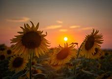 Mooie zonnebloembloemen in de zomer op het gebied Stock Foto