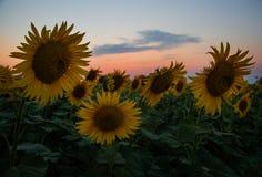 Mooie zonnebloembloemen in de zomer op het gebied Stock Fotografie