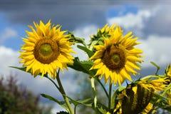 Mooie zonnebloemclose-up Stock Afbeeldingen
