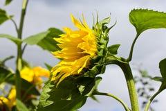 Mooie zonnebloemclose-up Stock Foto