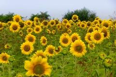 Mooie zonnebloemen Stock Fotografie