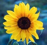 Mooie zonnebloemen Stock Foto's