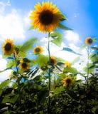 Mooie zonnebloemen Stock Afbeelding