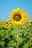 Mooie zonnebloemen in blauwe hemel Royalty-vrije Stock Afbeelding