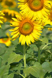 Mooie zonnebloemen in de tuin Stock Fotografie