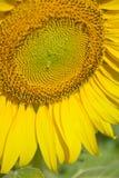 Mooie zonnebloemen in de tuin Stock Afbeeldingen