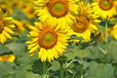 Mooie zonnebloemen in de tuin Royalty-vrije Stock Foto