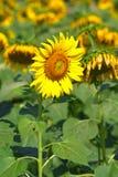 Mooie zonnebloemen in de tuin Stock Foto