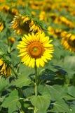 Mooie zonnebloemen in de tuin Royalty-vrije Stock Fotografie