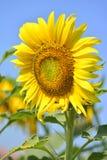 Mooie zonnebloemen in de tuin Stock Foto's