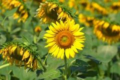 Mooie zonnebloemen in de tuin Royalty-vrije Stock Afbeelding