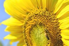 Mooie zonnebloemen in de tuin Stock Afbeelding