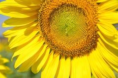 Mooie zonnebloemen in de tuin Royalty-vrije Stock Foto's