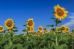 Mooie zonnebloemen in het gebied en de blauwe bewolkte hemel Royalty-vrije Stock Foto