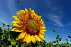 Mooie zonnebloemen met blauwe hemel en zonnestraal royalty-vrije stock foto's