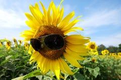 Mooie zonnebloemen met zonnebril Royalty-vrije Stock Foto's
