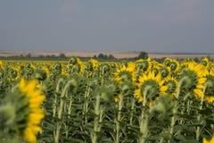 Mooie zonnebloemen Nuttige eigenschappen van zonnebloemolie Royalty-vrije Stock Afbeelding