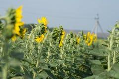 Mooie zonnebloemen Nuttige eigenschappen van zonnebloemolie Stock Afbeelding