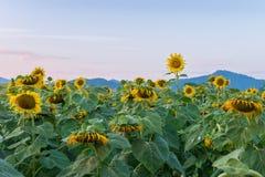 Mooie zonnebloemen op het gebied Stock Afbeelding