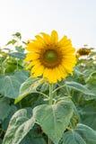 Mooie zonnebloemen op het gebied Royalty-vrije Stock Afbeelding