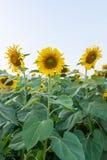 Mooie zonnebloemen op het gebied Royalty-vrije Stock Afbeeldingen