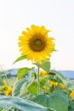 Mooie zonnebloemen op het gebied Royalty-vrije Stock Fotografie
