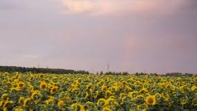 Mooie zonnebloemen op het gebied stock footage
