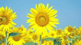 Mooie Zonnebloemen op het gebied met lichtblauwe hemel