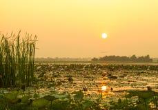 Mooie zonsondergang op de lelies van het gebied in Thailand stock afbeelding