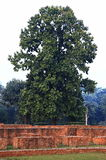 Mooie Zoutboom, Zout van India, Shorea robusta Roxb bij de Parinirvana-Tempel in Kushinagar, India Royalty-vrije Stock Foto's